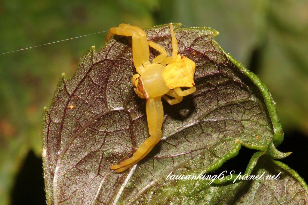 三角蟹蛛黃蜘蛛