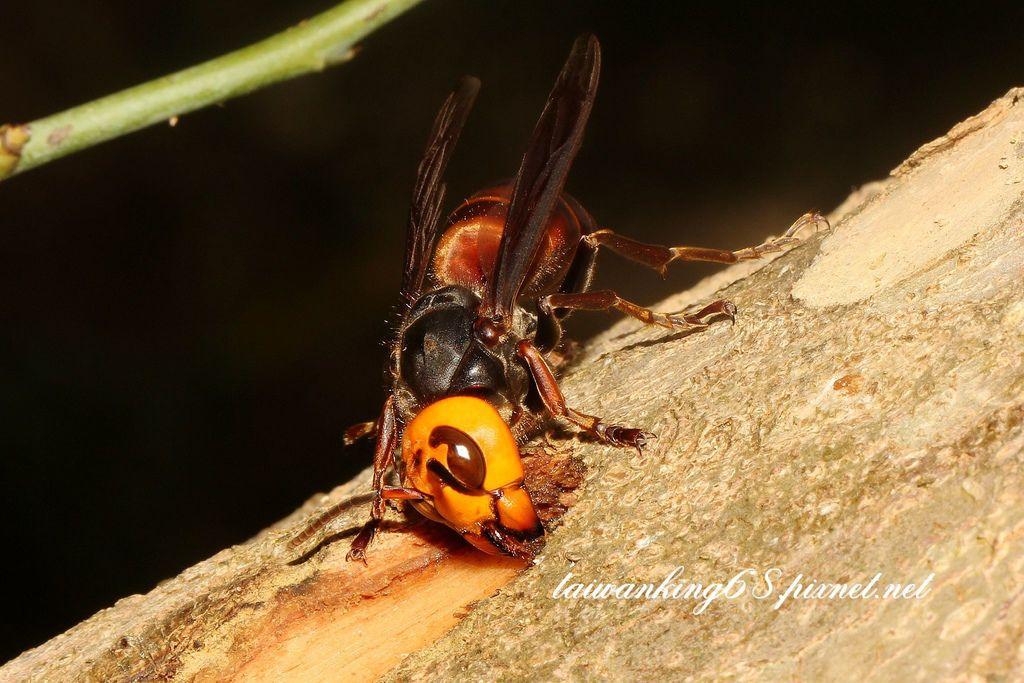 中國大虎頭蜂