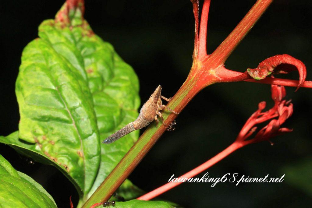 綠瓢蠟蟬若蟲