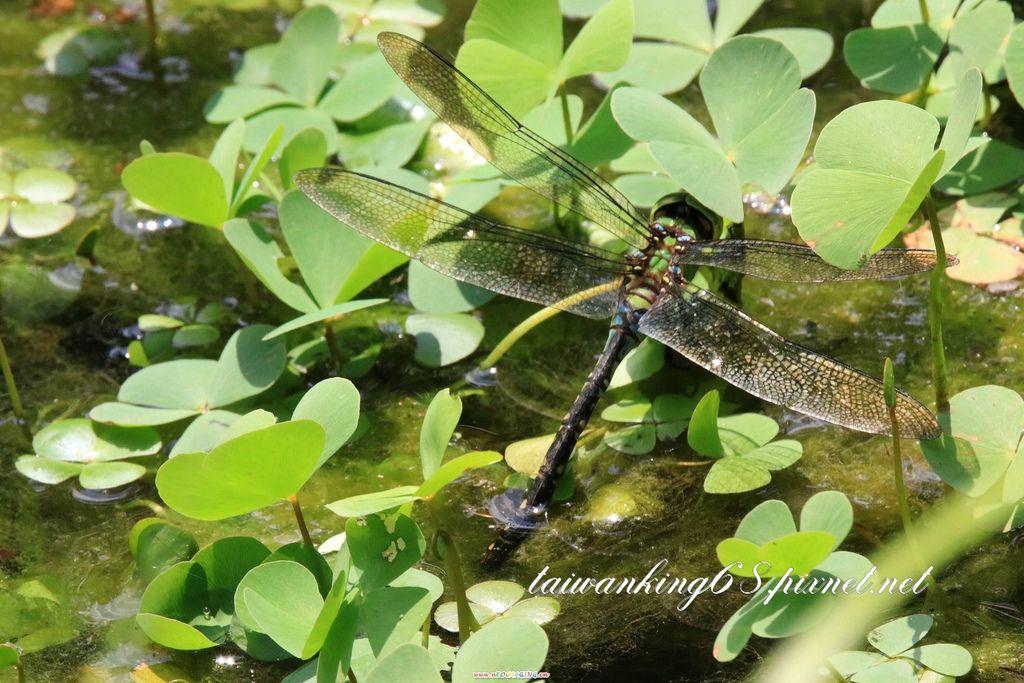 蜻蜓水上產卵