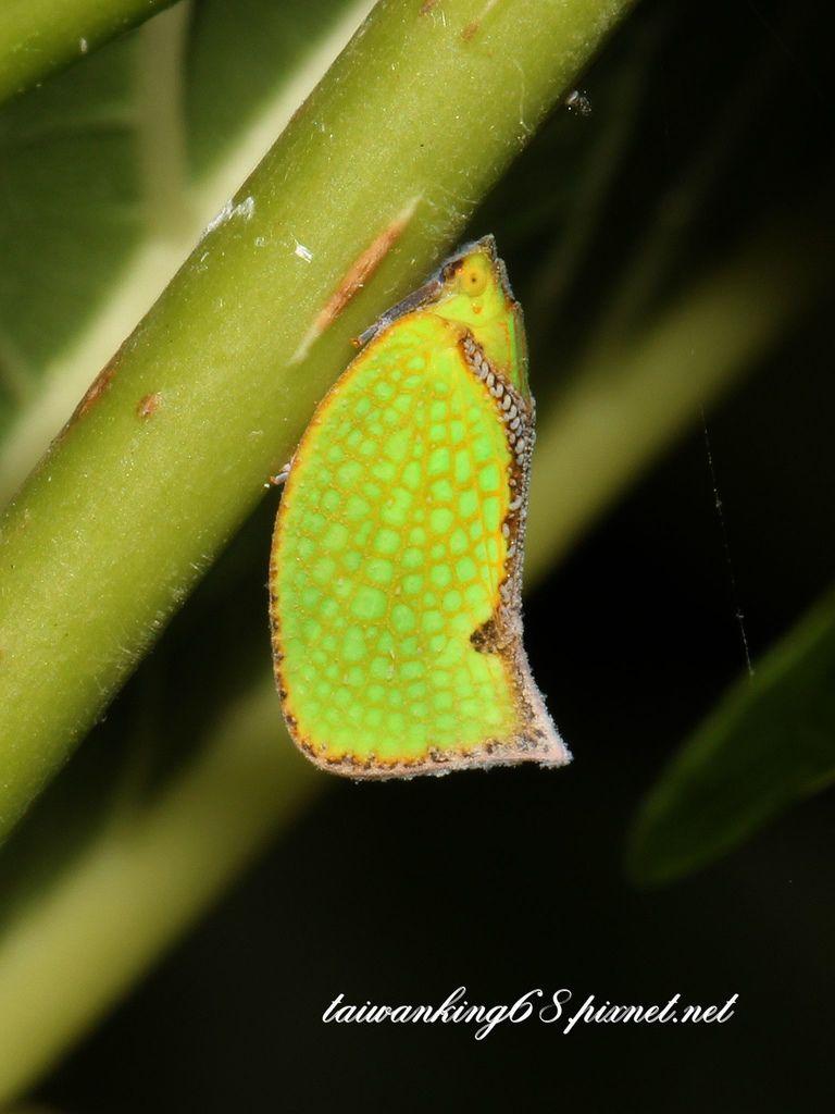 褐緣蛾蠟蟬