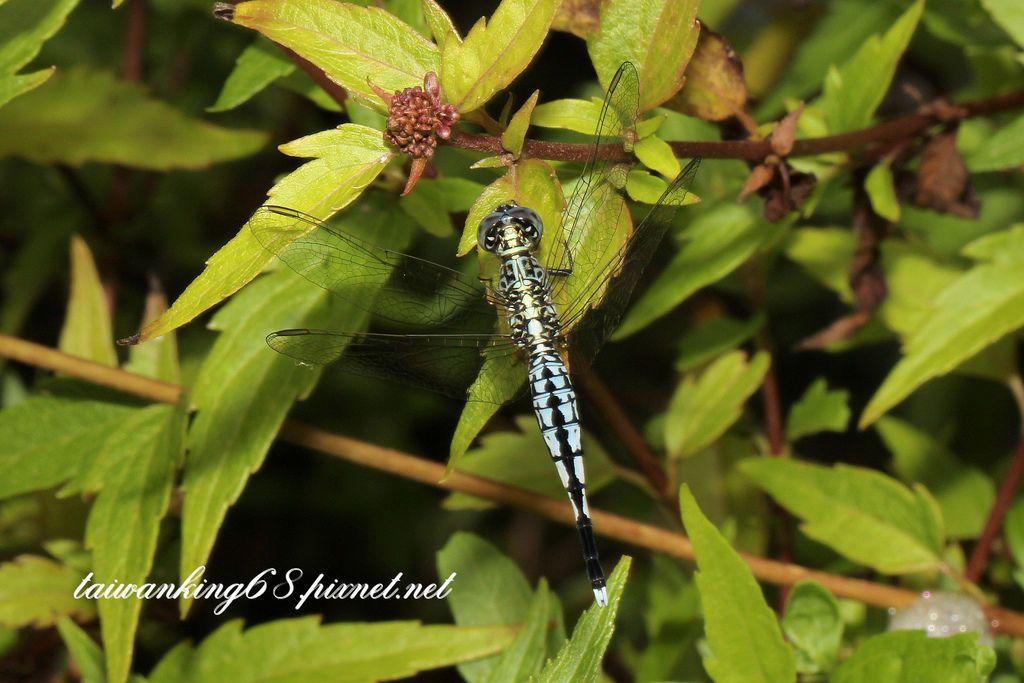 粗腰蜻蜓-雪花新聞