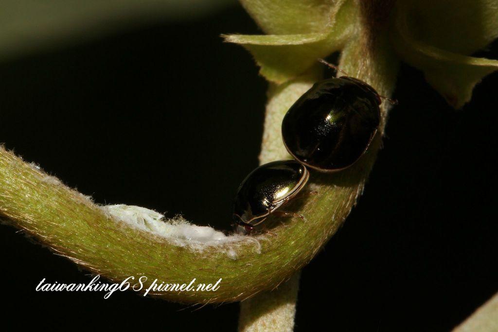 黎黑圓龜椿象