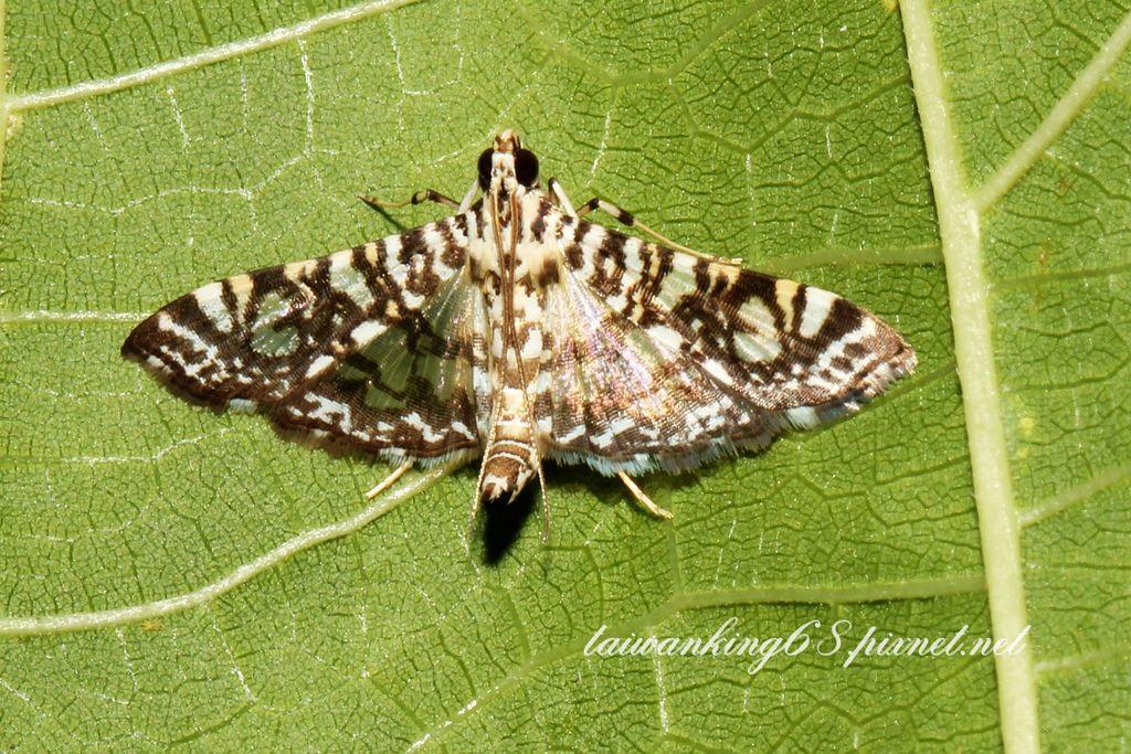 棉捲葉野螟蛾