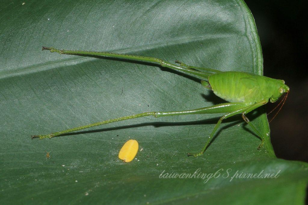 褐背露蟴終齡若蟲