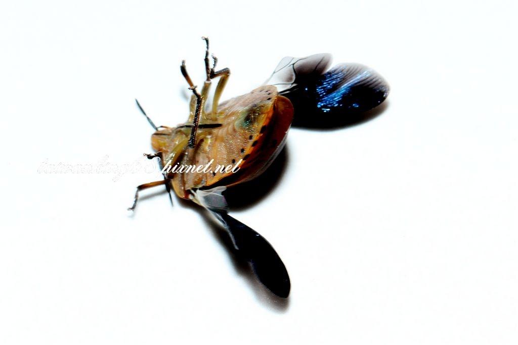 華溝盾椿象成蟲