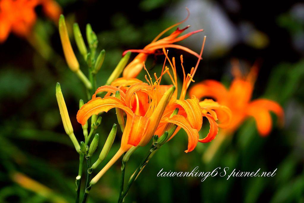 三義雅聞香草植物園的金針花