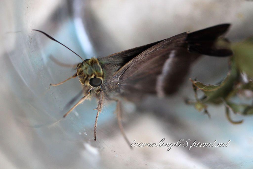 台灣絨毛弄蝶幼蟲