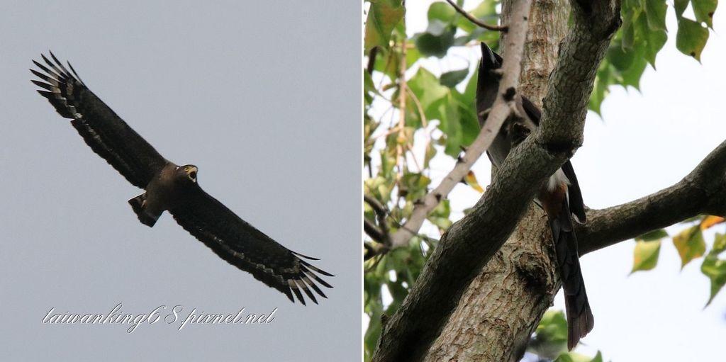 松雀鷹獵捕樹鵲