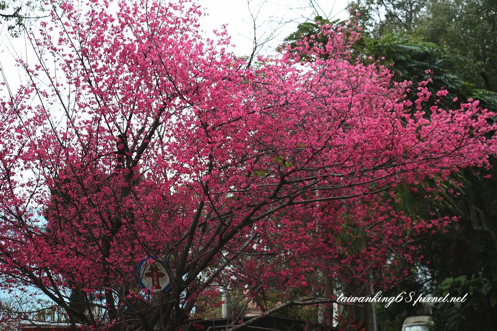 三義鄉的山櫻花