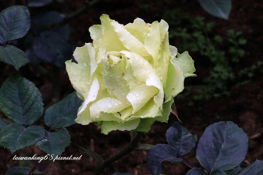 雅聞香草植物園的玫瑰花