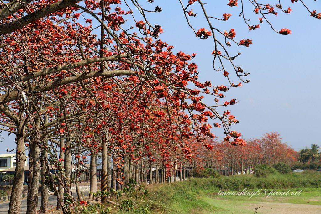 2019年2月台南林初埤亂了花序的木棉花大道