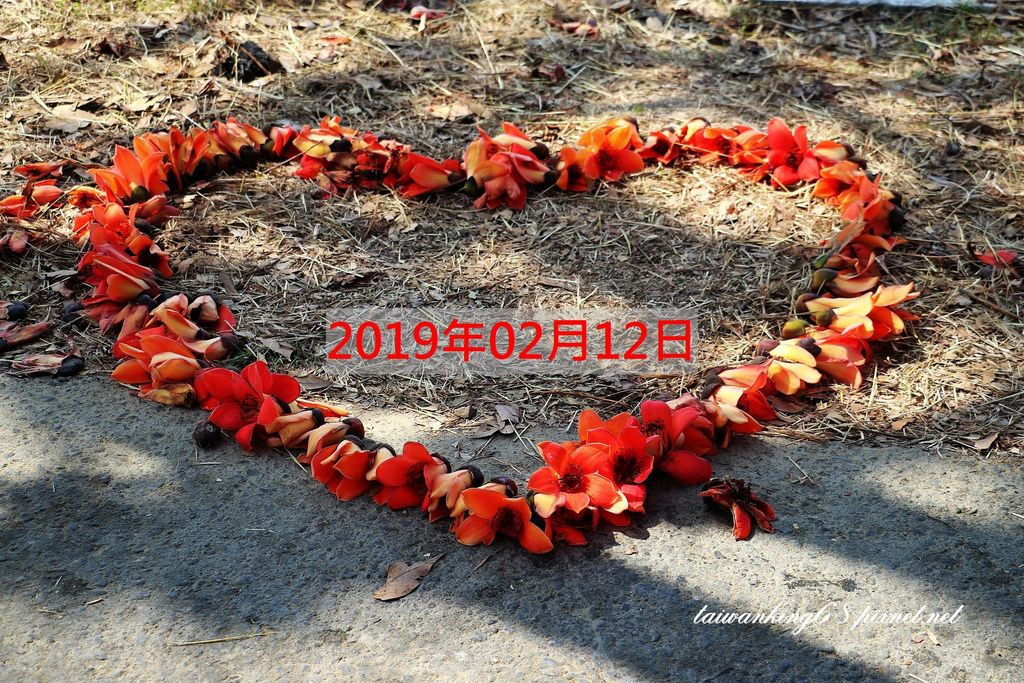 2019年2月中旬的林初埤木棉花大道