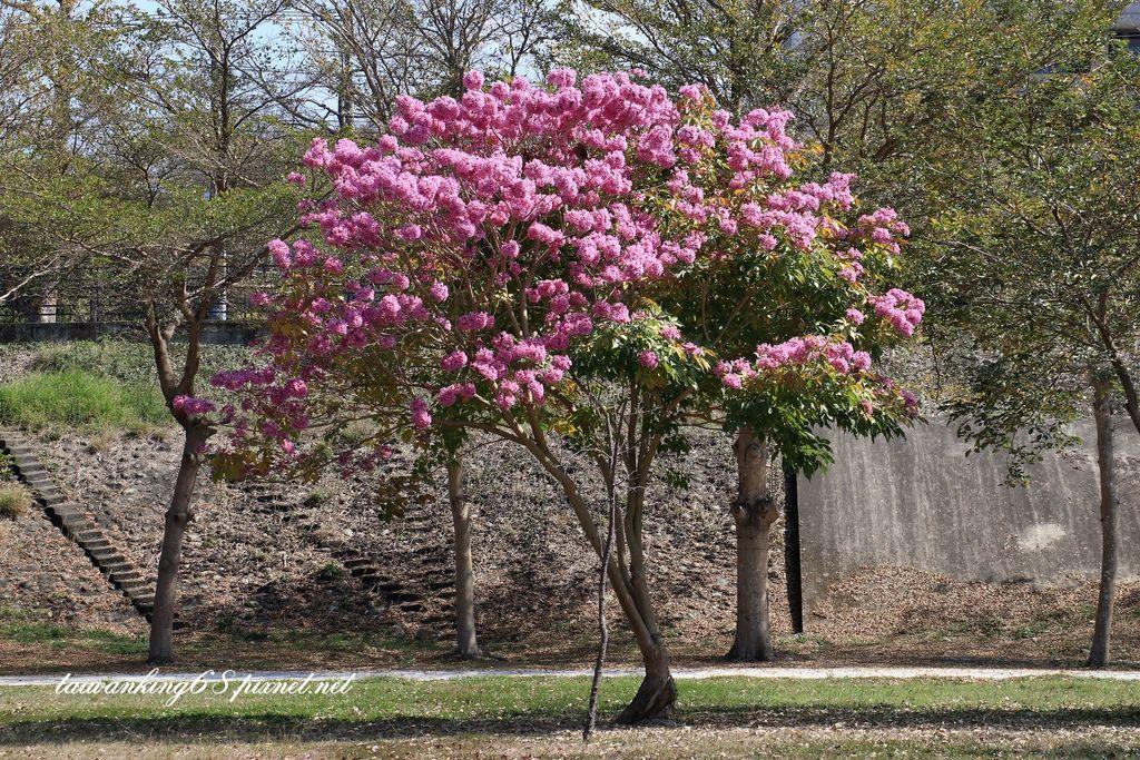 東勢河堤公園的洋紅風鈴木