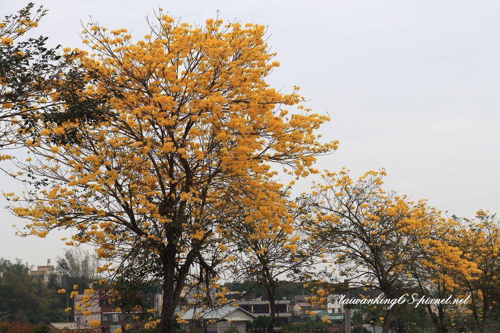 芬園黃花風鈴木