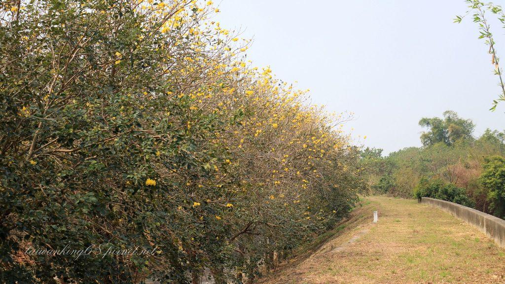 朴子溪的黃花風鈴木