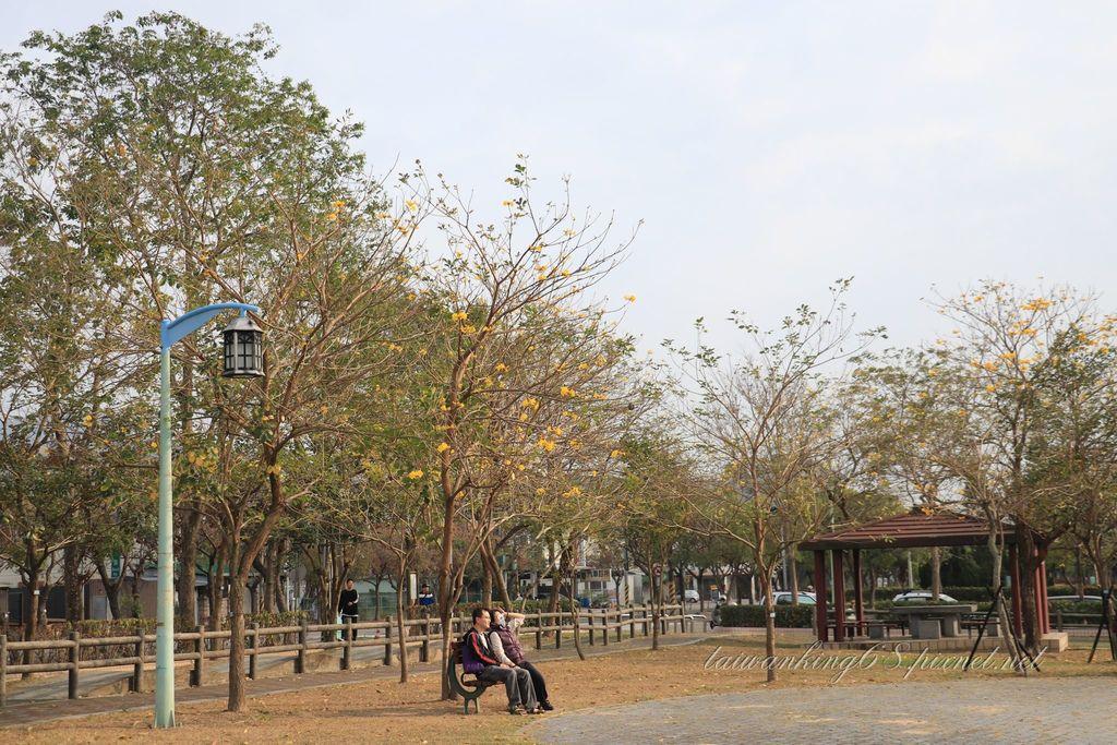 2019年台中廍子公園黃花風鈴木