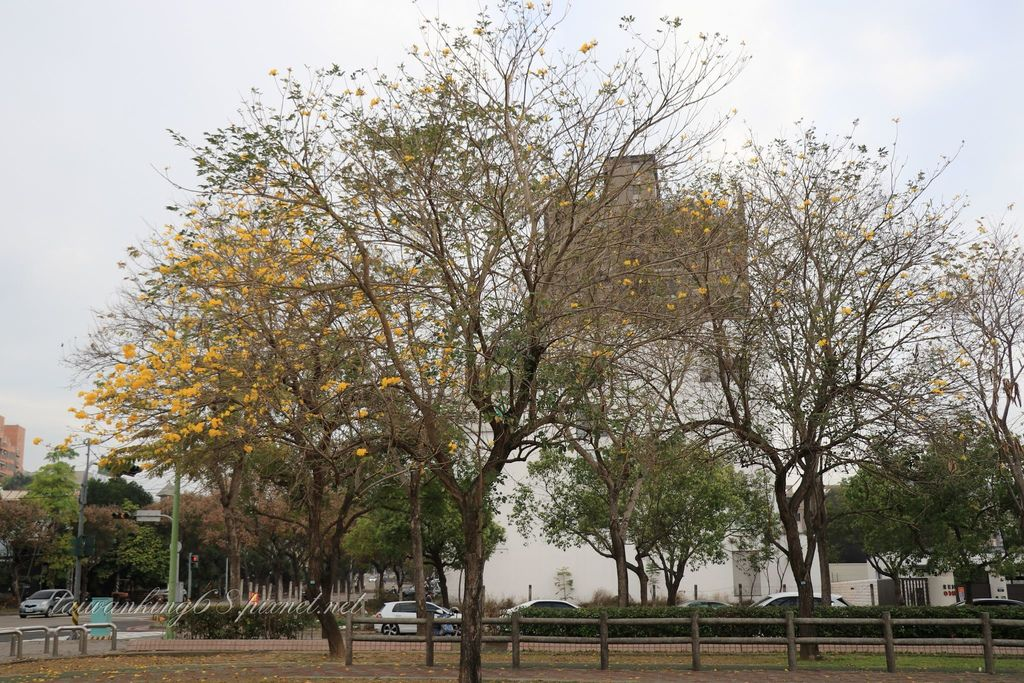 台中部子公園黃花風鈴木