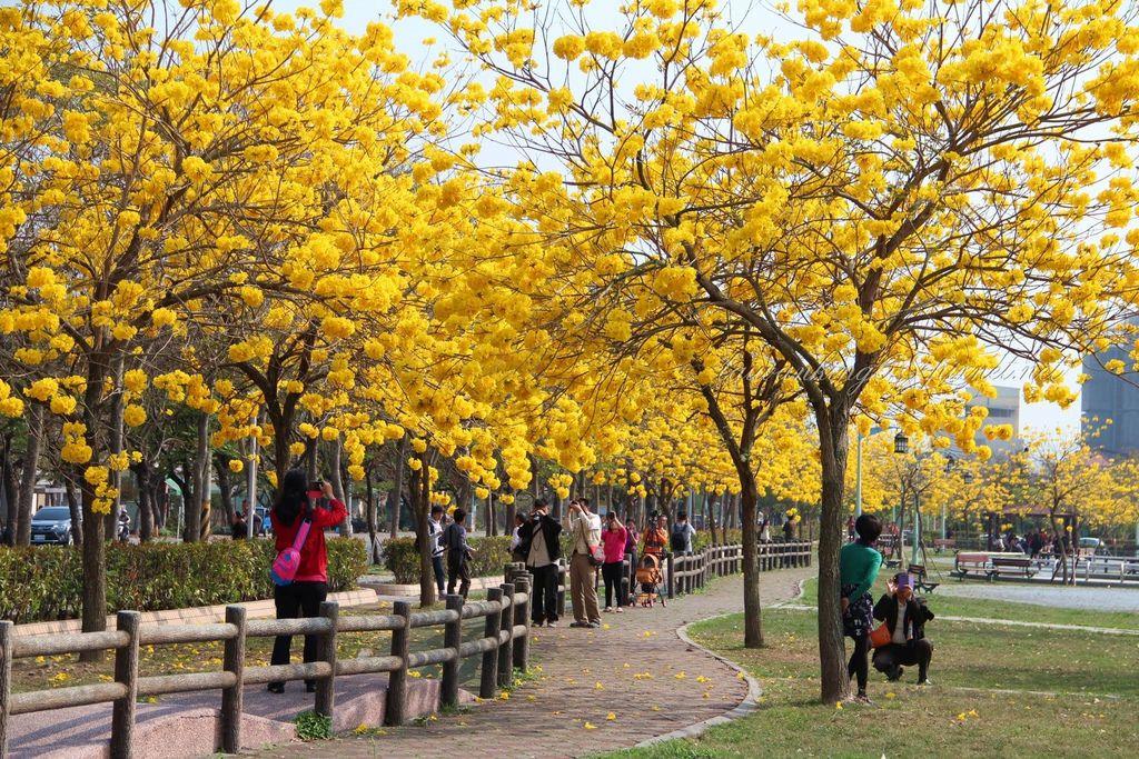 2015年3月6日台中部子公園的黃花風鈴木盛況