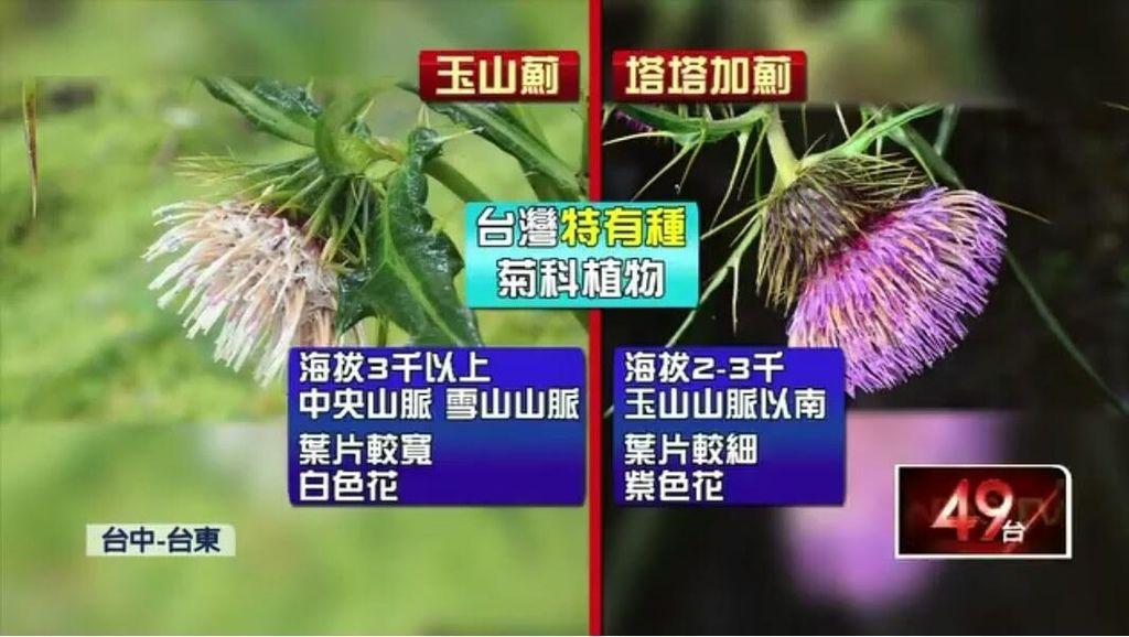 玉山薊與塔塔加薊的區別