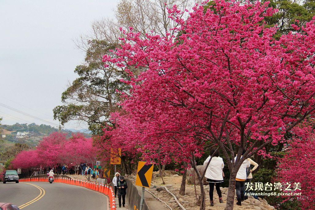 台中新社中和街的櫻花