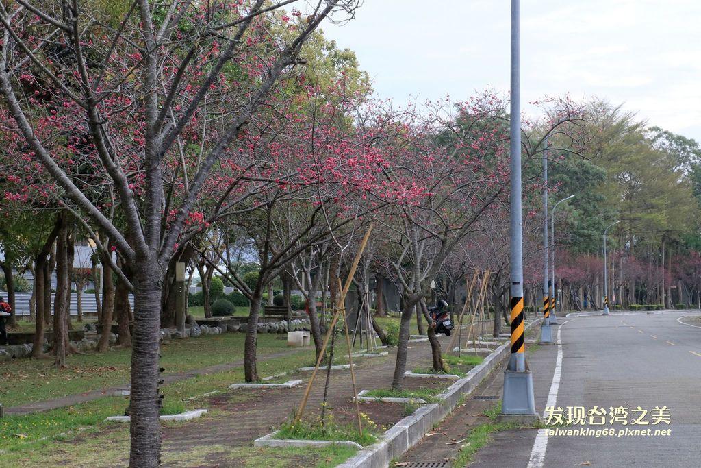 20190305新社環保公園八重櫻