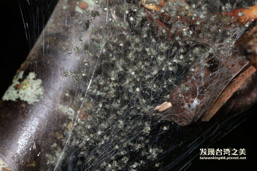 千百隻小蜘蛛破卵而出