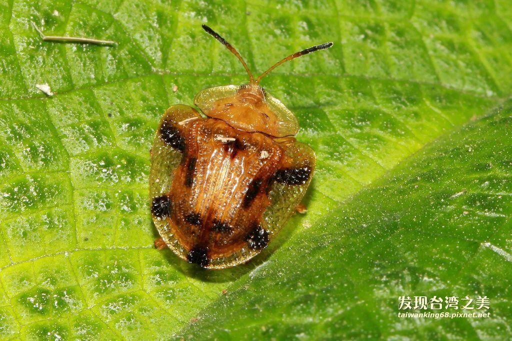 黑紋龜葉蟲