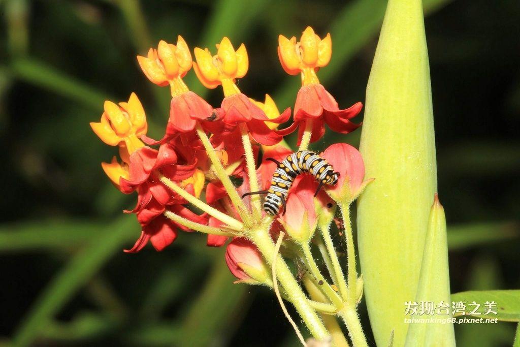 蚜蟲、瓢蟲與螞蟻的共生關係