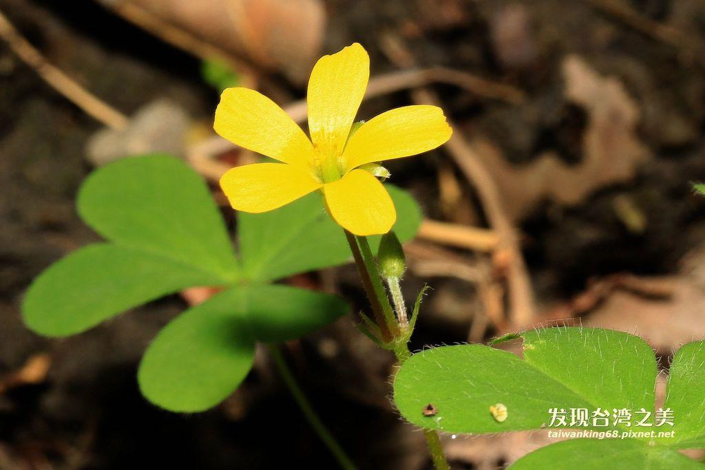 黃花酢漿草