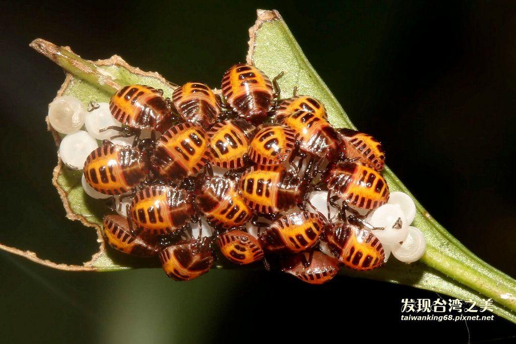 黃盾背椿若蟲