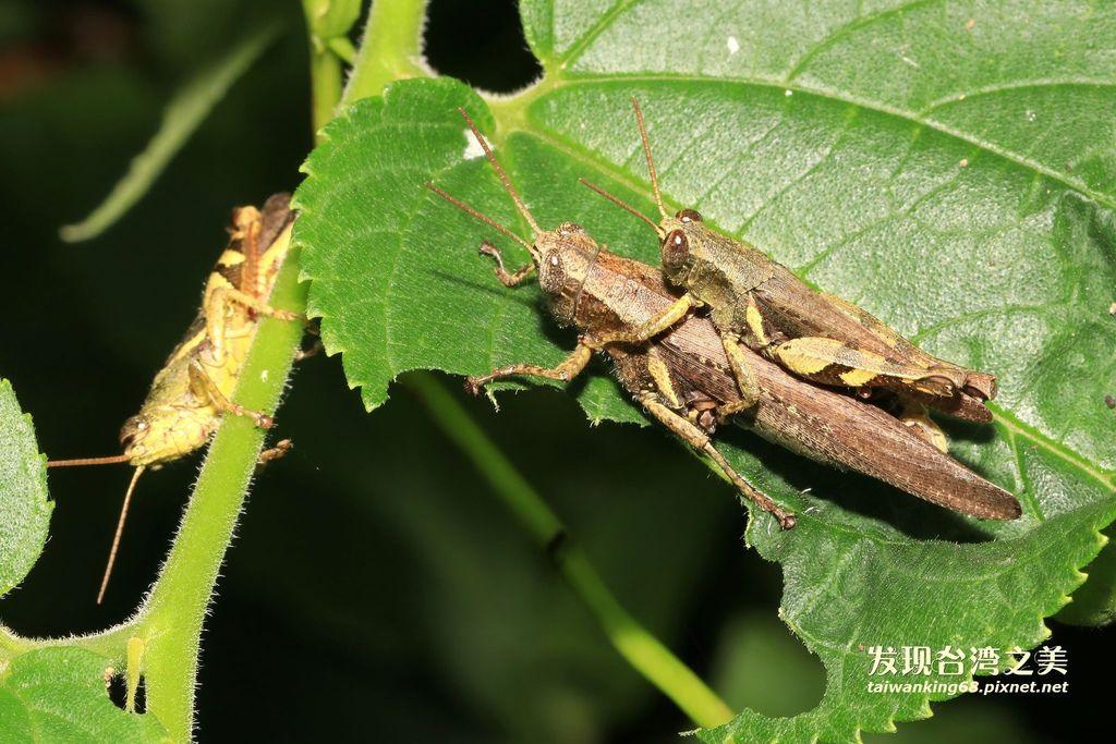 短角異斑腿蝗