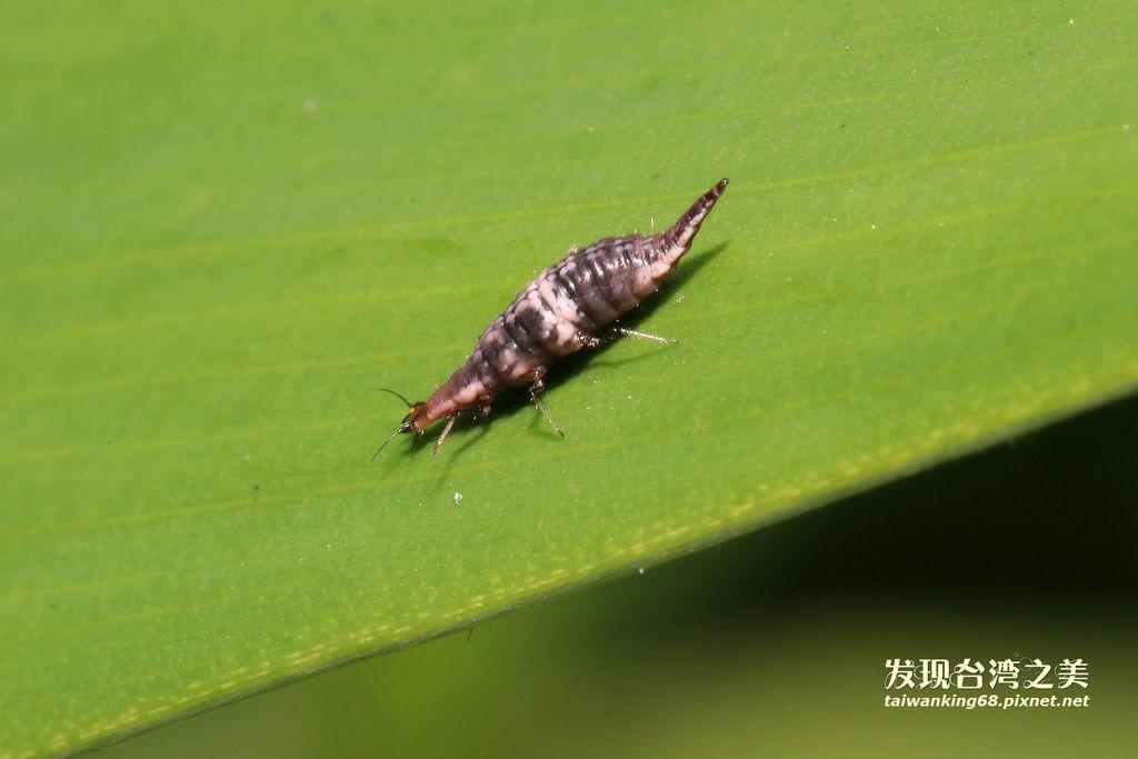 姬蛉的幼蟲