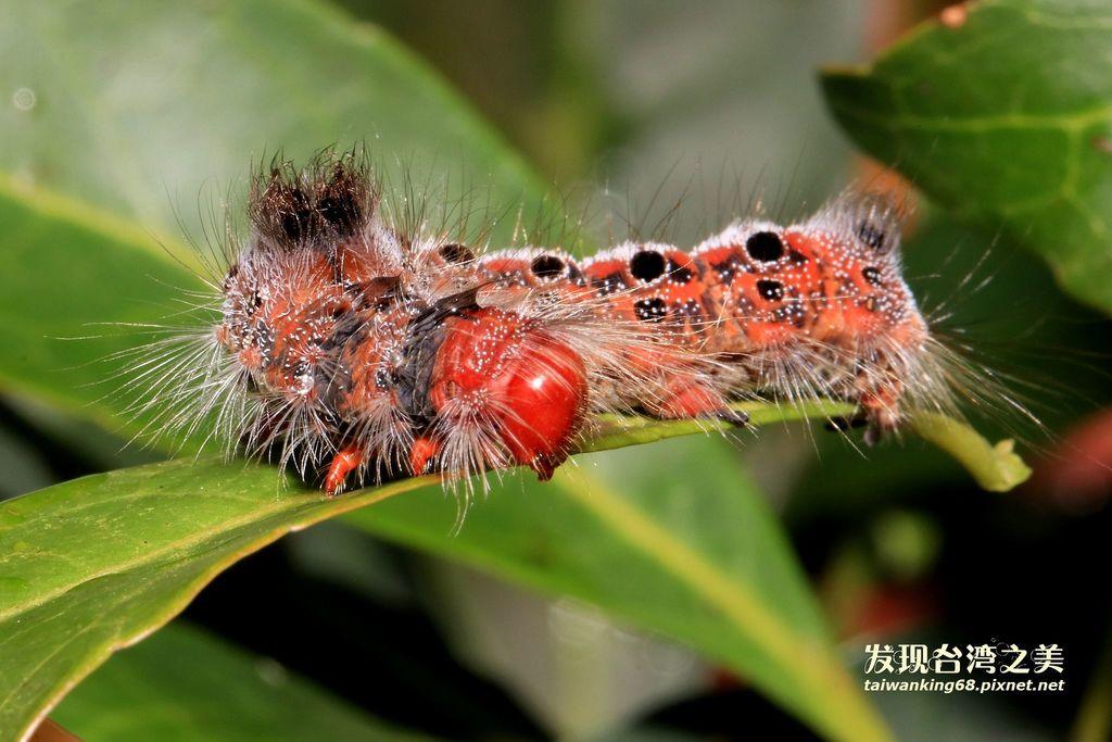 白斑黃毒蛾 (幼蟲)