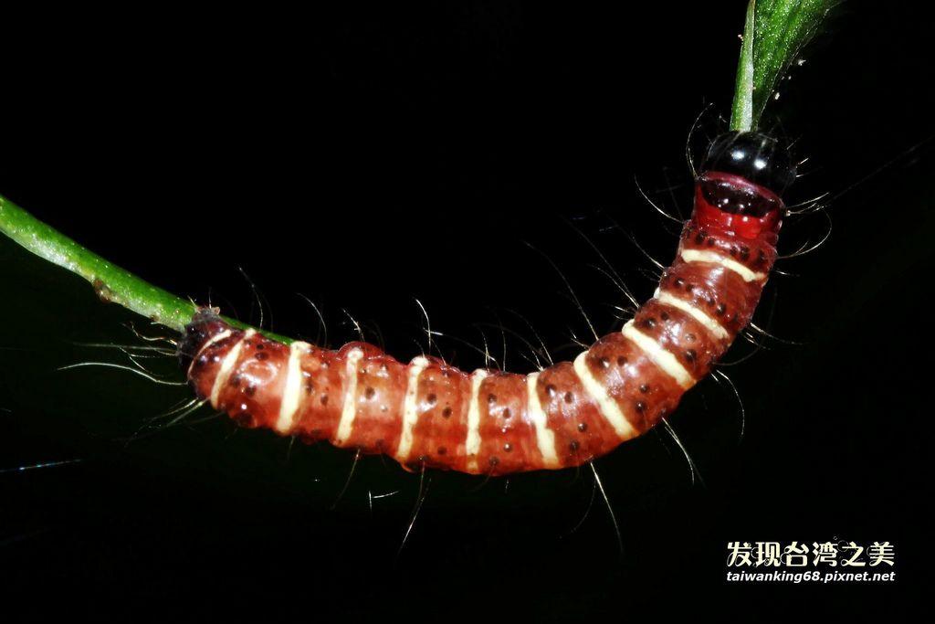 長斑擬燈蛾 (幼蟲)