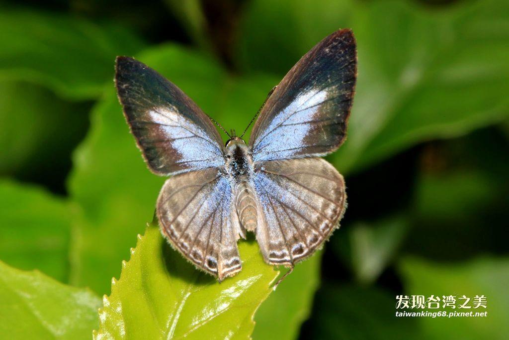 白波紋小灰蝶