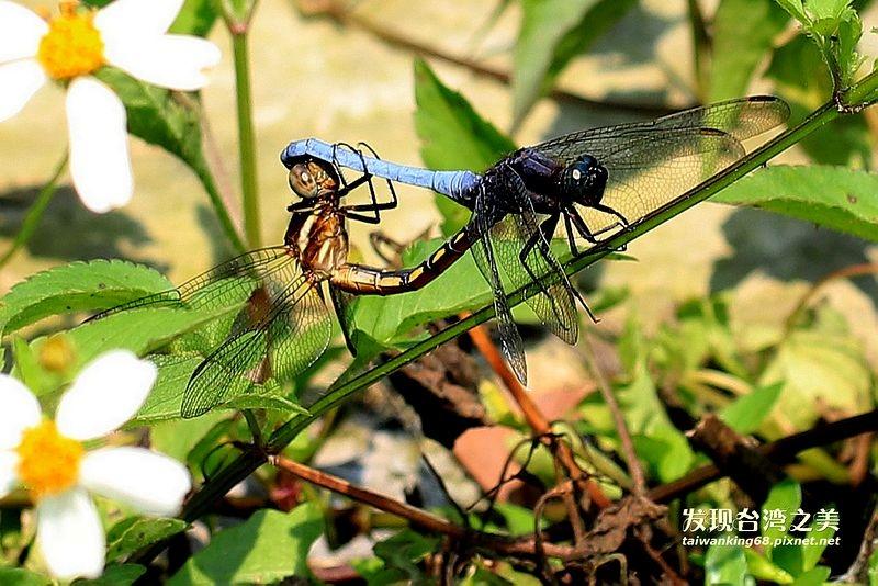 蜻蜓與豆娘的奇特交配方式