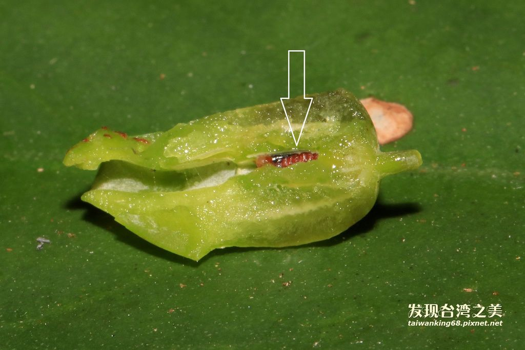 千奇百怪的蟲癭