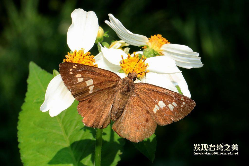 大黑星弄蝶