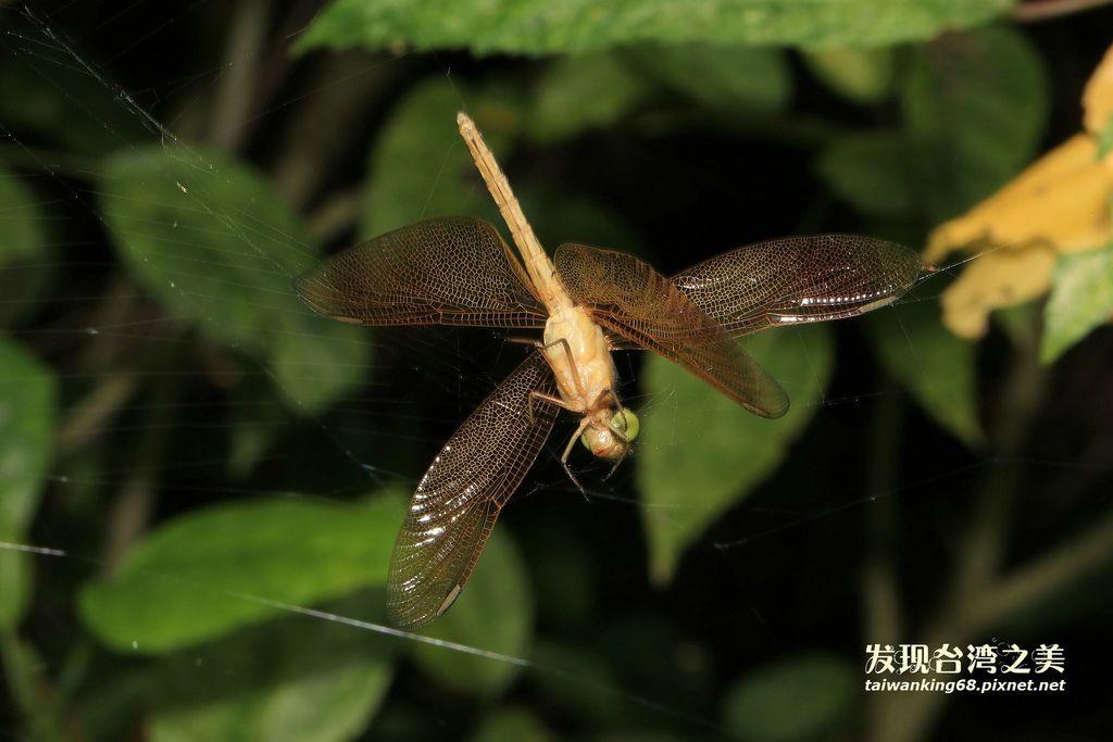 雌善變蜻蜓