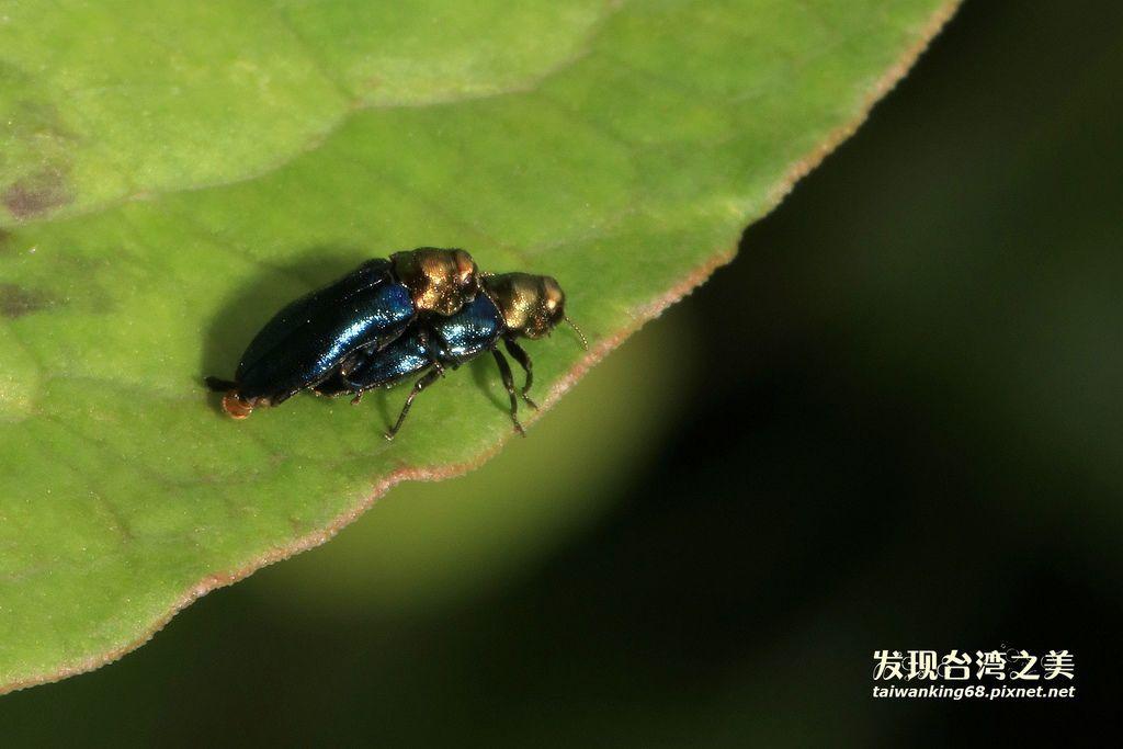 細矮吉丁蟲