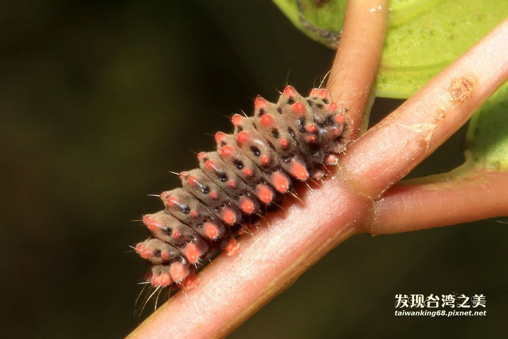 鳳斑蛾幼蟲