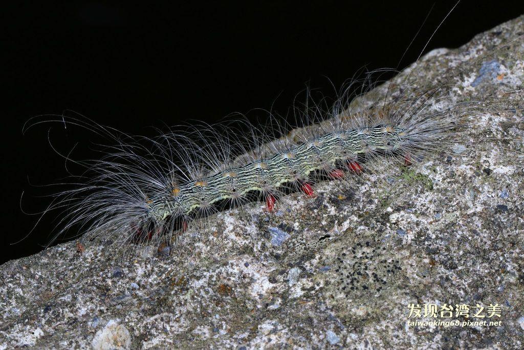 閃光苔蛾幼蟲
