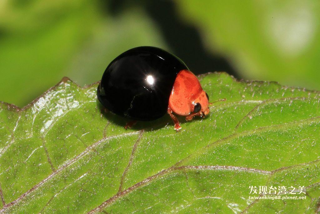紅胸黑瓢蟬