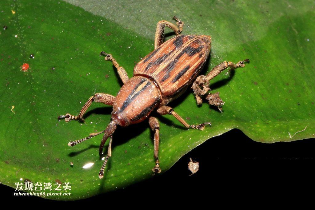 亞洲棕櫚象鼻蟲