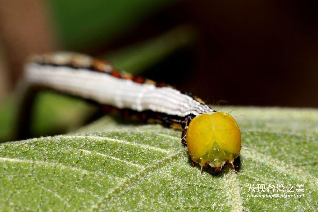 尺護蛾的幼蟲