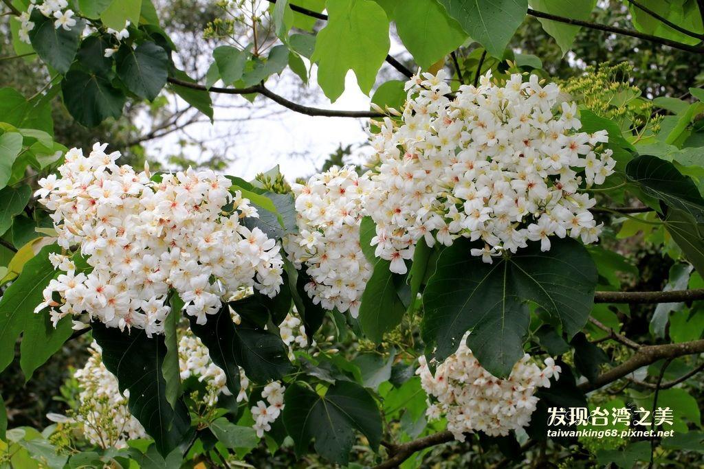 三義油桐花
