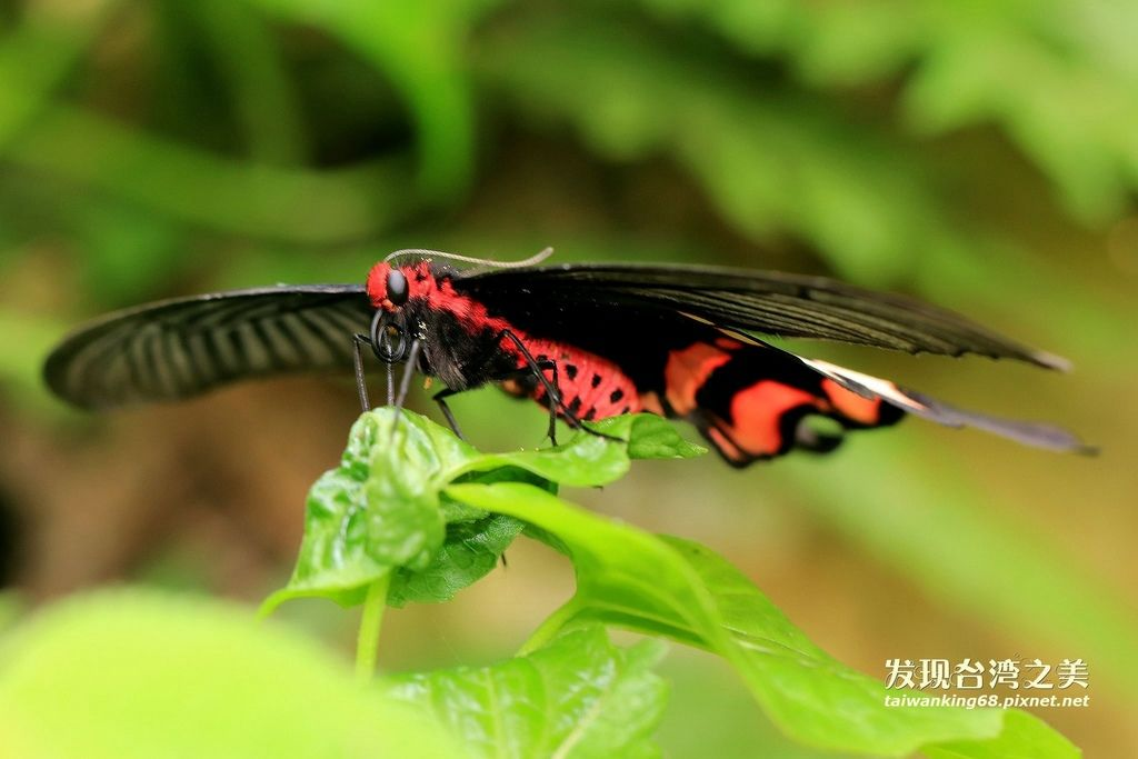 台灣麝香鳳蝶