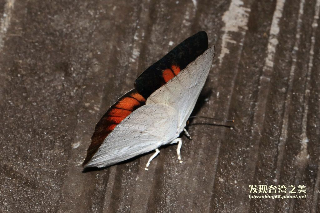 銀斑小灰蝶雄