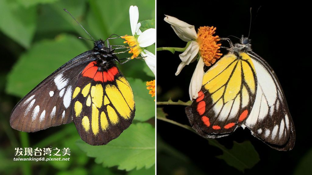 紅肩粉蝶與紅紋粉蝶之差異